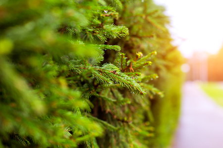 Green spruce branch with drops of water against the background of a plant coniferous hedge. Tallinn, Baltic States, Estonia. Blurred background with bokeh