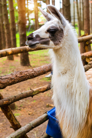 Wild animal Lama on the nature in the forest. Llama - South American mammal of the family of camelids, domesticated Indians. Lama has a valuable fur, used as a beast of burden. HBH Palanga, Lithuania Stock Photo