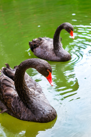 water fowl: Black swans swim in the green water in a lush pond. Park at Juozo alus brewery. Rare black birds in their natural wild habitat. HBH Palanga, Lithuania
