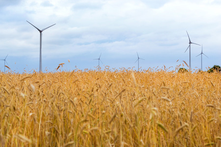 Wind turbine among golden ears of grain crops. Harvesting of wheat ears. Gathered crops on field of agricultural farm. Windmill turbine is environmentally friendly source of energy. Lithuania, Baltic