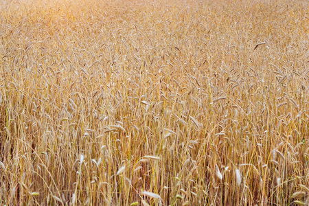 Harvesting ears of rye. Gathered crops on field of agricultural farm. Golden ears of grain crops. Klaipeda, Lithuania, Baltic Stock Photo
