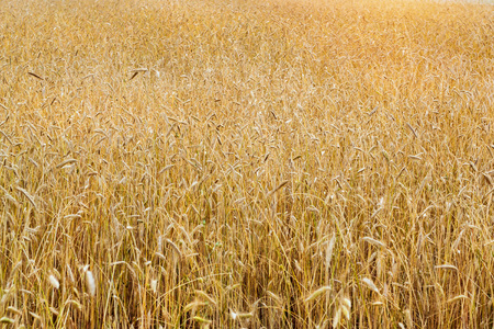 Harvesting of wheat ears. Gathered crops on field of agricultural farm. Golden ears of grain crops. Klaipeda, Lithuania, Baltic