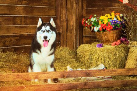 Dog-puppy breed Siberian husky. Jogging shepherd dog illustration. Dog is symbol of New 2018 year, according to Chinese calendar Year Of Yellow Earth Dog. Pet dog Siberian husky loyal friend of man Stock Photo