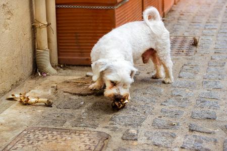 Stray dog is chewing a bone on cobblestone street of resort sity. Pet animal in resort Greek port-city Rethymno, Crete, Greece