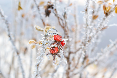 Frozen flowers and leaves of wild rose covered with a crust of ice Stock Photo