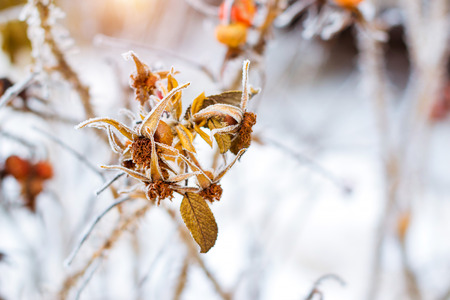 Frozen flowers and leaves of wild rose covered with a crust of ice. Plants of the Rose family, of the order Rosales. Flora and fauna in the harsh snow of the Russian winter Stock Photo