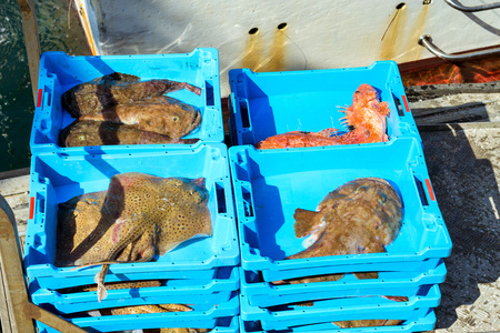 Blue plastic containers with catch of sea Electric Stingray, redfish and Monkfish, ocean delicacies. Industrial catch of fresh fish. Fish auction. Blanes, Spain, Costa Brava. Fishing in port Blanes