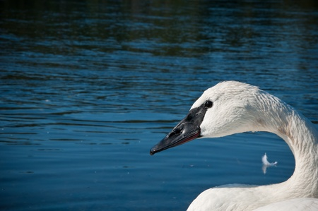 Close up of a White Mute Swan Against the Dark Blue Water photo