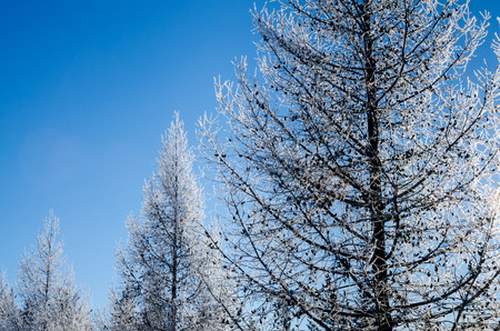 Backlit frost covered tree