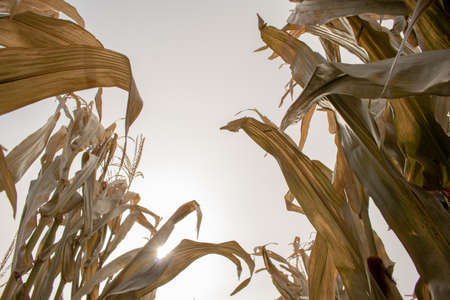 Leaves of Maize (Zea mays) Photo taken on a farm in Eastern Washington 写真素材 - 100782196