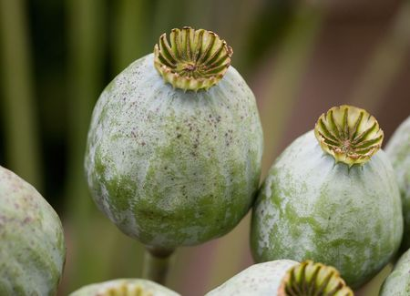 narcotism: close-up poppy-seeds with low depth of field