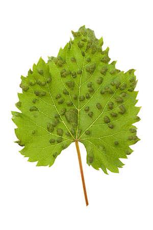 powdery: Disease of the plants- Sick vine leaf with powdery Mildew or Blumeria graminis Stock Photo