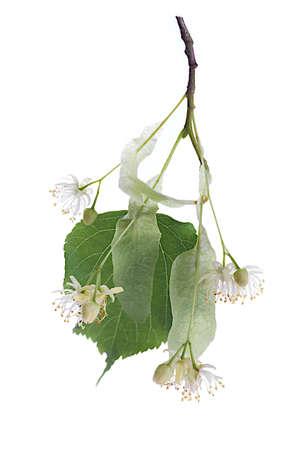 basswood: Bough of Linden flowers isolated on white background  Stock Photo