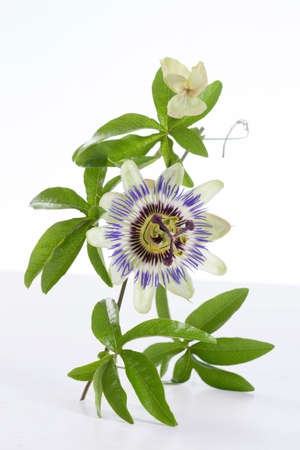 Passion Fruit Flower and Leaves Isolated on white with clipping path