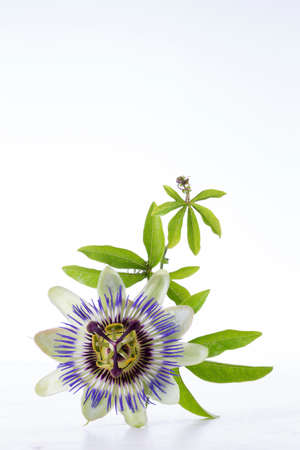Passion Fruit Flower and Leaves Isolated on white with clipping path photo