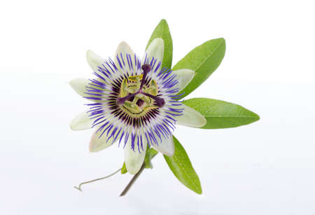 macro shot of a blue passion flower passiflora Stockfoto