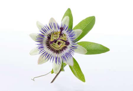 macro-opname van een blauwe passie bloem passiflora