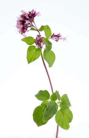 wild marjoram: oregano, wild marjoram Stock Photo