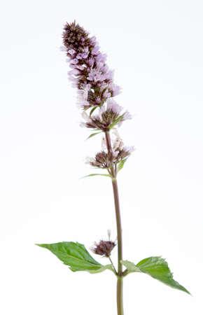 mentha: Mentha spicata (Spearmint, casa de moneda de lanza)  Foto de archivo