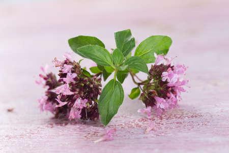 origanum: branch of oregano for food preparation