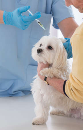 vaccinating: Female veterinarian vaccinating white poodle dog Stock Photo