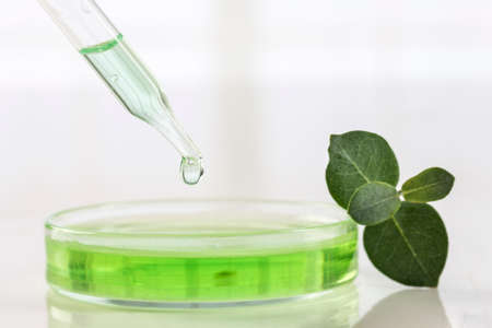 extracting: Eucalyptus leaves and essential oil