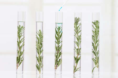 modified: Genetically modified plants Plant seedlings growing inside of test tubes