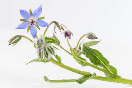 Bacground: Borage flowers o, whte bacground
