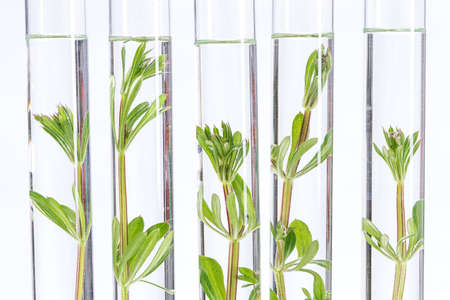 scientific farming: Seedling growing in laboratory undergoing experiment in glass tube