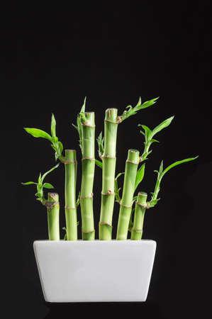 lucky bamboo: Lucky bamboo Dracaena sanderiana in a traditional porcelain pot