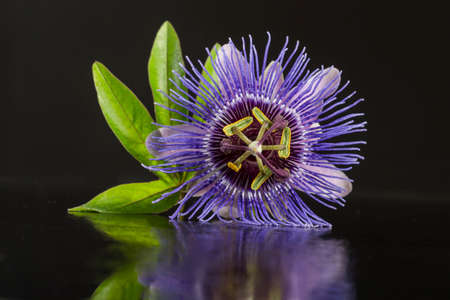 passiflora: Close up of a Blossom of Passiflora