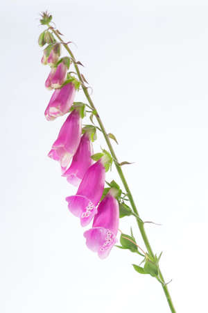 Foxglove Digitalis purpurea flower on white background Stock Photo
