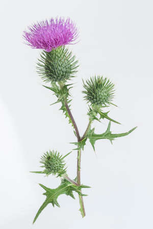 thistle plant: Milk Thistle Mediterranean Plant Alternative herbal medcine