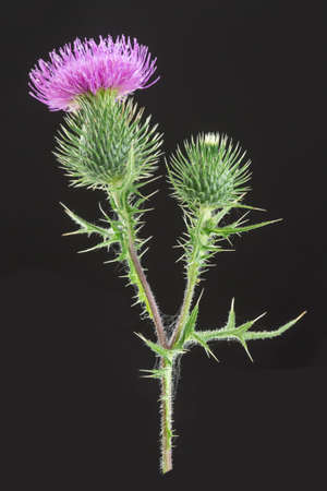 prick: Milk Thistle Mediterranean Plant Alternative herbal medcine