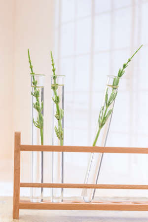 equisetum: Medicinal plant Equisetum arvense Horsetail in test tubes