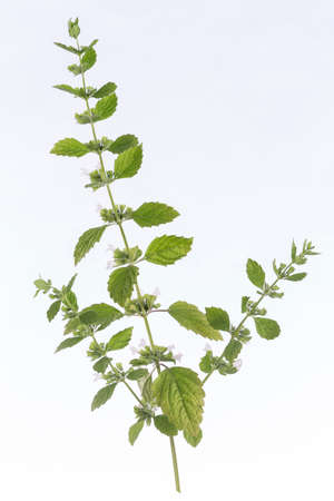 officinalis: lemon balm Melissa officinalis frech and aromatic
