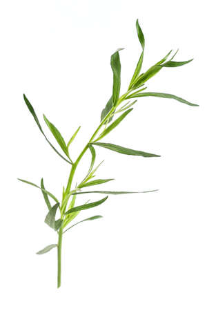 tarragon: Fresh tarragon herbs, Tarragon herbs close up