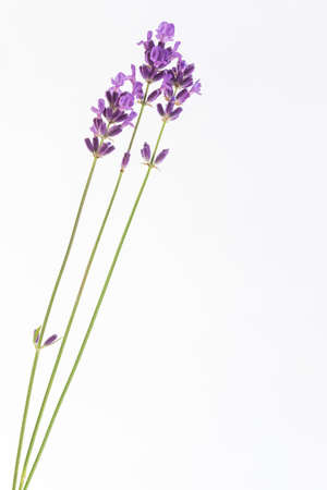 officinal: Three lavender flower stalks isolated on white