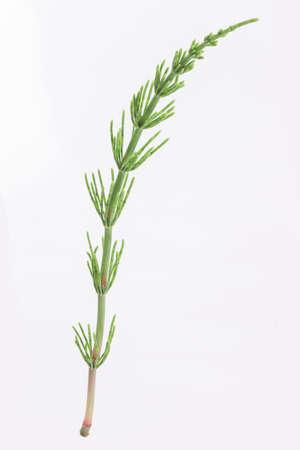 equisetum: Medicinal plant: Fresh Equisetum arvense. Horsetail on white Stock Photo