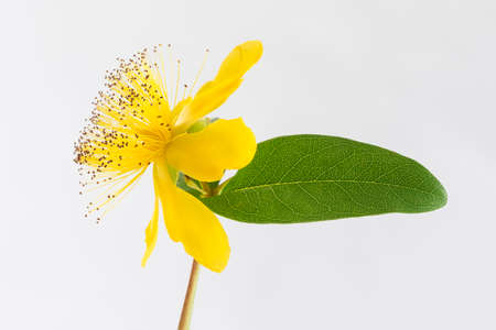 perforate: Isolated blossom of a hypericum flower St. Johns wort Stock Photo