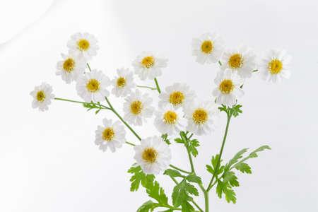 chamomiles: Fresh Chamomiles isolated on white background. cutout