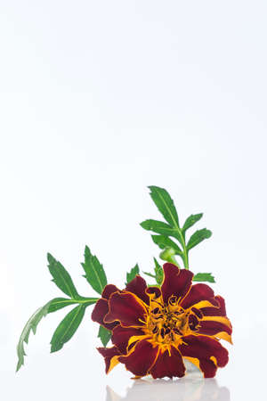 extract: Small bottle of essential oil Tagetes flowers extract