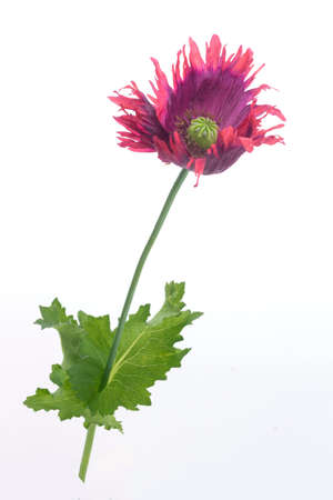 beautiful dark red poppy papaver isolated on white