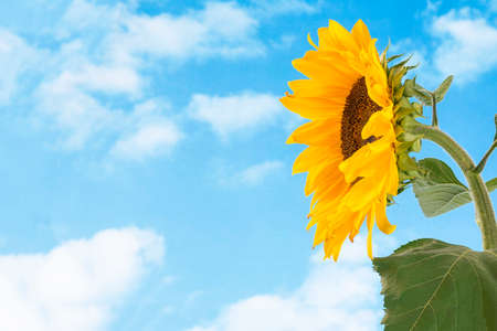 profil: Close-up of profil sun flower against a blue sky Stock Photo