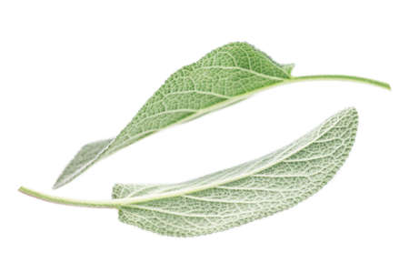 aromatic: Aromatic plants Sage leaves isolated on white