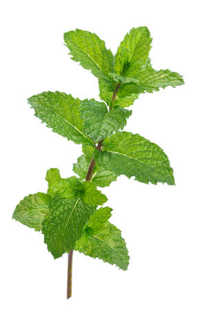 Fresh raw mint leaves isolated on white Stock Photo