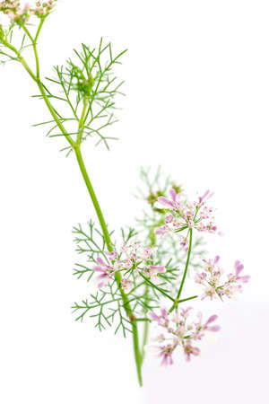 fresh green leaf cilantro coriander blossom close up isolated on white background