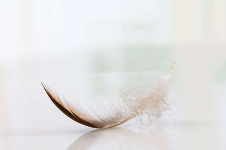 falling feather: Pure feather falling on a white background