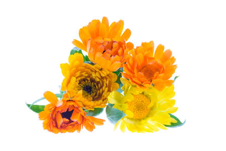 sinners: Marigold, calendula officinalis on a white background.