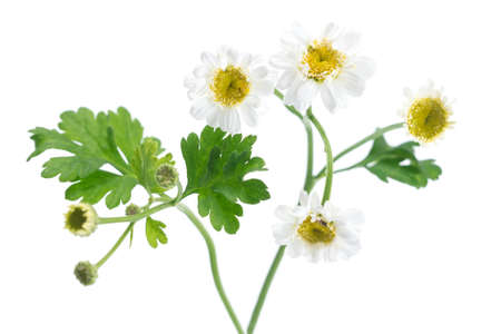 matricaria recutita: Chamomile Matricaria chamomilla - medicinal plant isolated on white background